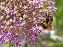 Close-Up Macro of Yellow and Black Bumble Bee on Purple bulbous allium flower stock photos