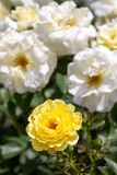 Close-up of Yellow Brick Road hybrid shrub rose in selective focus with green leaves in foreground and white roses in background stock photography