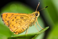 Close up yellow Butterfly on green leaf bokeh background. royalty free stock images