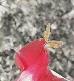 The red flower and the yellow butterfly. Close up of a yellow butterfly perched on a red flower Royalty Free Stock Photography