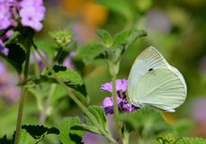 Close up of a yellow cabage butterfly. An image of a white cabbage butterfly against dark background and side lighting Stock Images