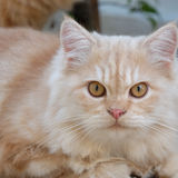 A close up of the yellow cat Royalty Free Stock Photo