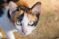 Close up Yellow Cats eyes Royalty Free Stock Photo