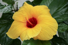 Close up of Yellow Chinese hibiscus Stock Image