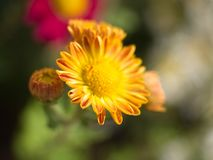 Close up of a yellow Chrysanthemum flower Stock Photography