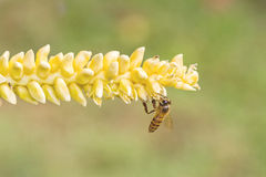 Close up yellow coconut pollen  with flying bee Stock Photos