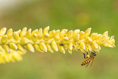 Close up yellow coconut pollen  with flying bee Royalty Free Stock Photography