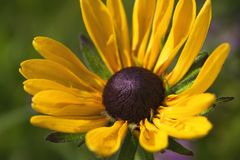 Close up yellow colored flower blooms like chamomile growing in summer garden stock photography