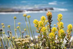 Close up of Yellow colored Indian paintbrush Castilleja wildflowers royalty free stock photo