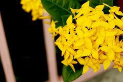 Ixora Yellow colors of spike flower. King Ixora blooming Ixora chinensis. Close - Up Yellow colors of  Ixora spike flower. King Ixora blooming Ixora chinensis Royalty Free Stock Photos