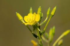 Common Evening Primrose - Oenothera biennis. Close up of a yellow Common Evening Primrose flower. Also known as a Evening Star, Fever Plant, German Rampion, Hog stock image