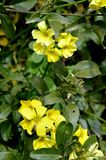 Close-up of Yellow Common Wood Sorrel Flowers, Oxalis Acetosella. Background stock photos