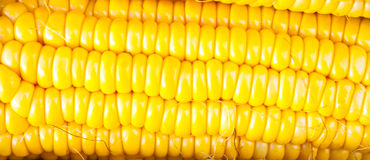 Close-up yellow corn. A close-up fresh corn,background Stock Image