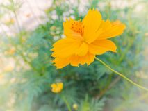 Close-up ,Yellow Cosmos flower. Stock Photography