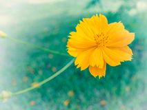 Close-up ,Yellow Cosmos flower. Stock Photos