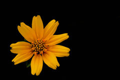 Close Up yellow Cosmos flowers against. Black background Royalty Free Stock Photography
