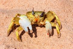Close-up yellow crab on sand. Close-up crab on the sand on the shore of the Red Sea Royalty Free Stock Image