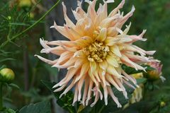 Close-up of the yellow-cream flower of the Dahlia dahlia cultiva. Close-up of yellow-cream dahlia flower Dahlia variety Garden Party with leaves growing in the royalty free stock images