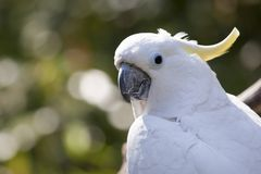 Close up of yellow crested cockatoo with blurred foliage background Stock Photos