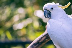 Close up of yellow crested cockatoo with blurred foliage background Stock Images