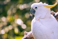 Close up of yellow crested cockatoo with blurred foliage background Royalty Free Stock Photo