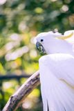 Close up of yellow crested cockatoo with blurred foliage background Royalty Free Stock Photos