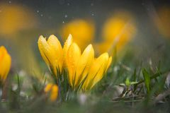Close up on yellow crocus with water drops and rain Royalty Free Stock Images