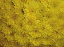 Close up yellow Chrysanthemum flowers stock images