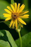 Cup Plant - Silphium perfoliatum. Close up of a yellow Cup Plant flower. Todmorden Mills Park, Toronto, Ontario, Canada Royalty Free Stock Image