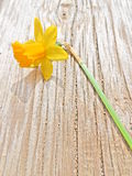 Close-up of a yellow daffodil in a wooden bench. Capture of a beautiful yellow daffodil in a wooden bench Royalty Free Stock Photo