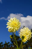 Close-up of yellow dahlia. And blue sky Stock Photo