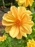 Yellow Dahlia flower Royalty Free Stock Images