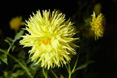 Close up yellow dahlia flower growing outdoors royalty free stock image