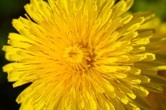 Close up of yellow daisy dandelions grow on the field. Close-up of yellow daisy dandelions grow on the field Stock Image