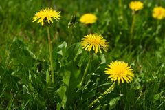 Close up of yellow daisy dandelions grow on the field. Close-up of yellow daisy dandelions grow on the field Stock Photos