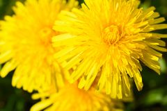 Close up of yellow daisy dandelions grow on the field. Close-up of yellow daisy dandelions grow on the field Royalty Free Stock Photo
