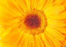 Close-up yellow daisy flower. Macro shot. Nature background. Close-up yellow daisy flower. Macro shot. Nature background Stock Image