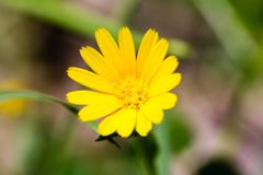 Close up of a yellow daisy. In a garden stock images
