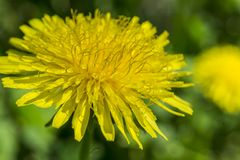 Close up yellow dandelion flower in blue bright turquoise. Background horizontal view. Stock Image