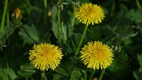 Close up yellow dandelion flowers in green grass. Extreme close up several yellow dandelion flowers over green grass background, high angle view stock footage