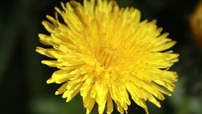Close-up of a yellow dandelion stock video