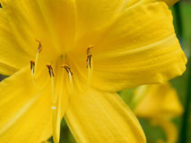 Close-up of a yellow day-lily Royalty Free Stock Image