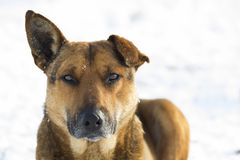 Close-up of yellow dog pet on white snow outdoors.  Stock Image