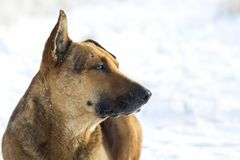 Close-up of yellow dog pet on white snow outdoors.  Stock Photography