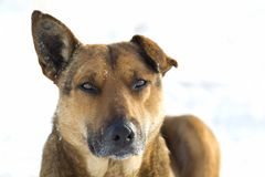 Close-up of yellow dog pet on white snow outdoors Stock Photography