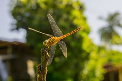 Yellow Dragonfly on a black steel bar with a green background. Royalty Free Stock Photography