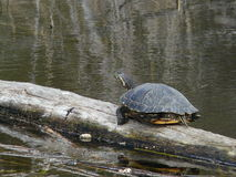 Close up Yellow Eared Slider Turtle On Log. Close up of Turtle on Log , reflections in background Stock Photos