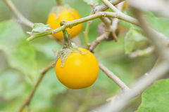 Close up yellow eggplants in garden Stock Image