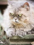 Close up yellow eye of beauty old female gray persian cat with l. Ong hair sit in garden with soft focus background Stock Photography