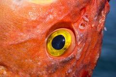 Close up of yellow eye rockfish Stock Photos